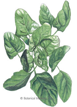 Spinach Lavewa Seeds