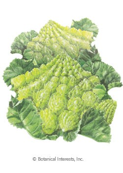 Broccoli Romanesco HEIRLOOM Seeds