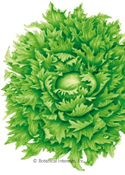 Lettuce Batavia Ice Queen (Reine des Glaces) HEIRLOOM Seeds