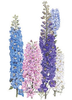 Delphinium Pacific Giant HEIRLOOM Seeds