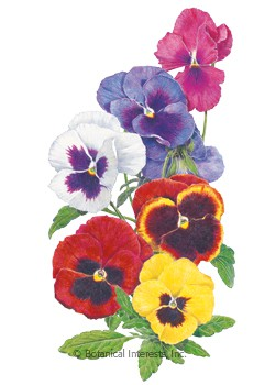 Pansy Swiss Giant Blend HEIRLOOM Seeds