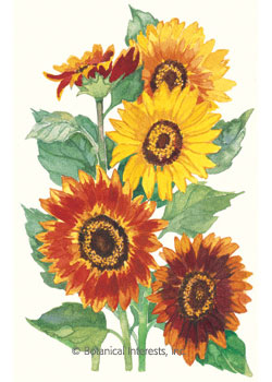 Sunflower Autumn Beauty HEIRLOOM Seeds