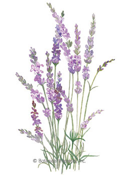 Lavender English Tall  HEIRLOOM Seeds