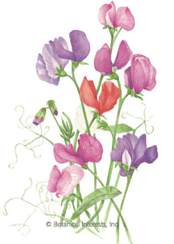 Sweet Pea Old Spice Blend HEIRLOOM Seeds