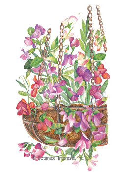 Sweet Pea Little Sweetheart Seeds