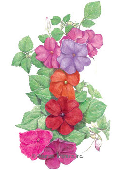 Impatiens Midnight Blend Seeds