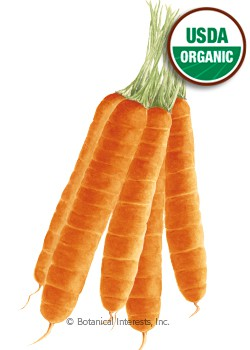 Carrot Scarlet Nantes Organic HEIRLOOM Seeds