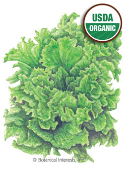 Lettuce Leaf Black Seeded Simpson Organic HEIRLOOM Seeds