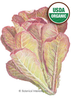 Lettuce Romaine Rouge D'Hiver Organic HEIRLOOM Seeds