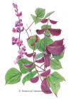 Hyacinth Bean Ruby Moon HEIRLOOM Seeds