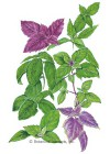 Basil Custom Blend HEIRLOOM Seeds