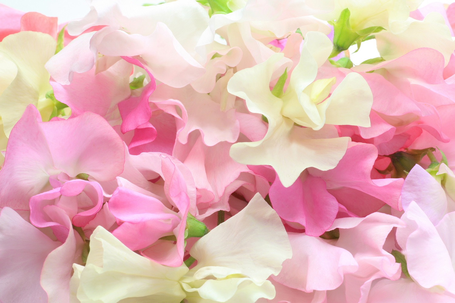 Sweet Peas: Sow and Grow Guide