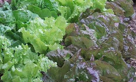 Heat-Tolerant Lettuces and Other Greens